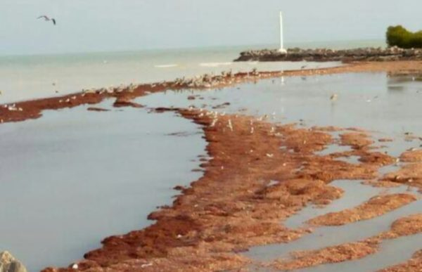 Tons of sargassum to invade Yucatan And Quintana Roo beaches in 2019