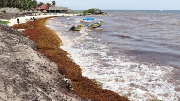 Anti-sargassum barriers will be placed along the coast of