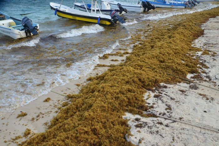 Massive arrival of sargassum expected for southern Quintana Roo