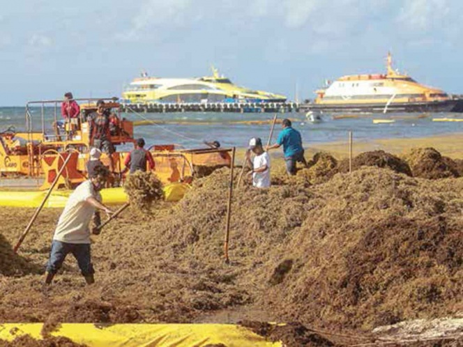 Cozumel east coast severely affected by tons of sargasso – The
