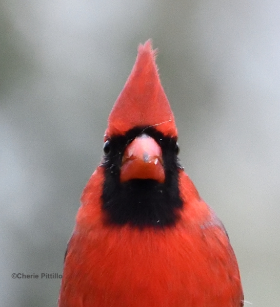 This image has an empty alt attribute; its file name is 10.Northern-Cardinal.jpg