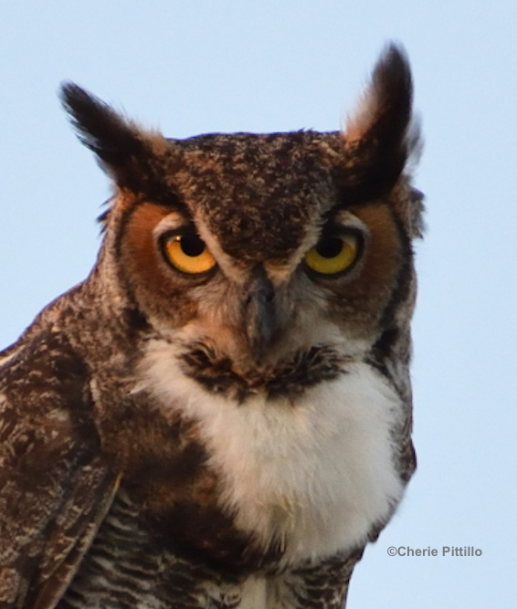 This image has an empty alt attribute; its file name is 14.Great-Horned-Owl.jpg