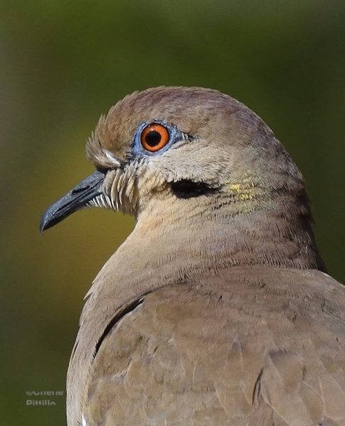 This image has an empty alt attribute; its file name is 5.-White-winged-Dove.jpg