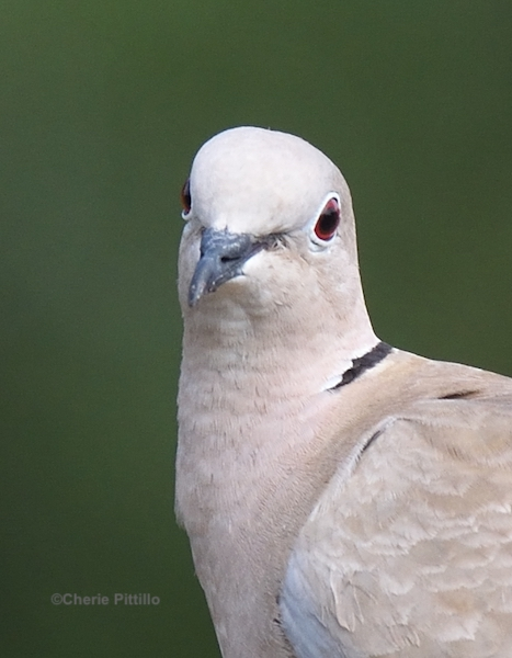 This image has an empty alt attribute; its file name is 6.-Eurasian-Collared-Dove.jpg
