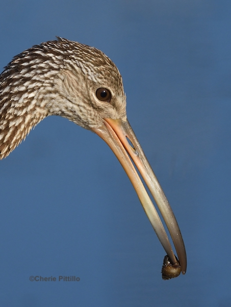 This image has an empty alt attribute; its file name is 9.Limpkin-with-snail.jpg