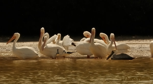 This image has an empty alt attribute; its file name is 1.-Swimming-Brown-Pelican-approaches-flock-of-American-White-Pelicans-along-shore.-Two-Black-necked-Stilts-stand-close-to-the-pelicans.jpg