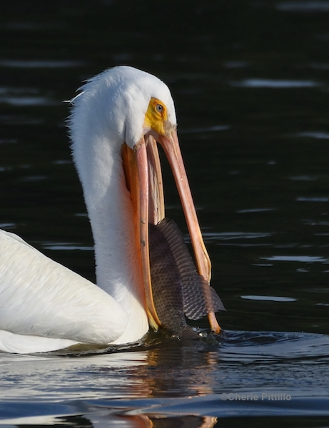This image has an empty alt attribute; its file name is 13.-Finally-the-fish-appears-to-be-headfirst-in-white-pelican-pouch.jpg
