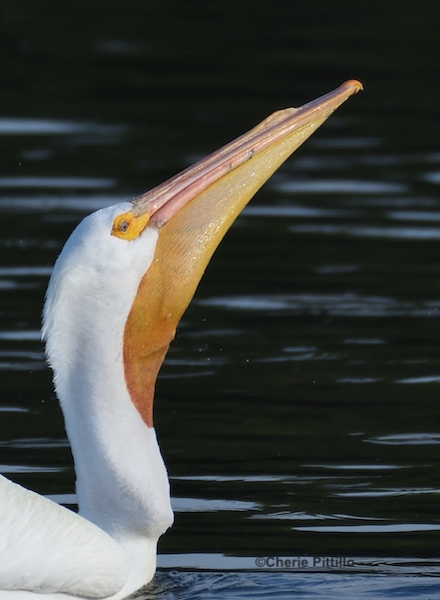 This image has an empty alt attribute; its file name is 14.-Note-enlarged-pelican-neck-with-swallowed-fish.jpg