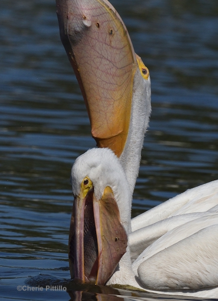 This image has an empty alt attribute; its file name is 15-Punctured-pelican-pouches.jpg