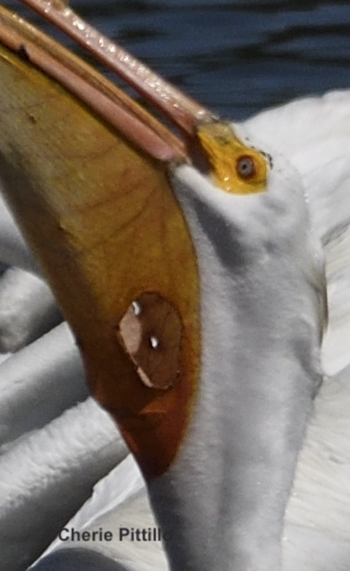 This image has an empty alt attribute; its file name is 17-Small-and-larger-holes-in-American-White-Pelican-pouch-1.jpg