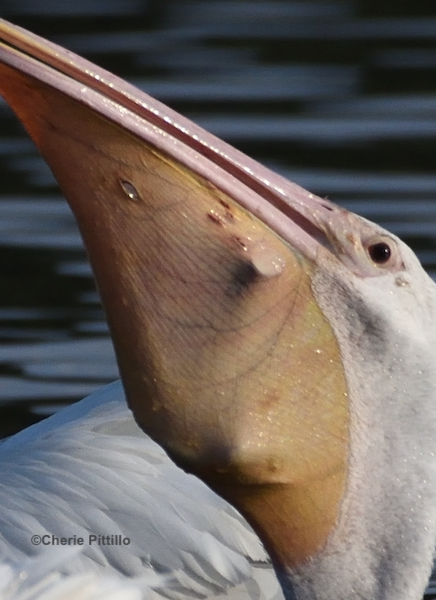 This image has an empty alt attribute; its file name is 18-Some-small-punctures-can-heal-in-white-pelican-pouch.jpg