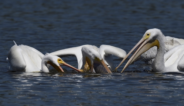 This image has an empty alt attribute; its file name is 19Perhaps-pelican-bills-rip-each-other-pouches-attempting-to-steal-prey.jpg