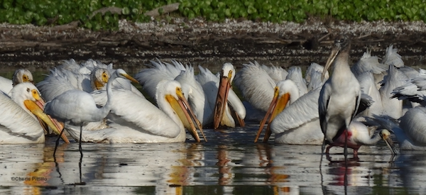 This image has an empty alt attribute; its file name is 2.-Size-comparison-of-white-pelican-to-wading-birds.jpg