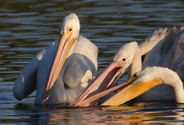 This image has an empty alt attribute; its file name is 20-Note-upper-bill-of-one-pelican-is-inside-another-mouth.jpg