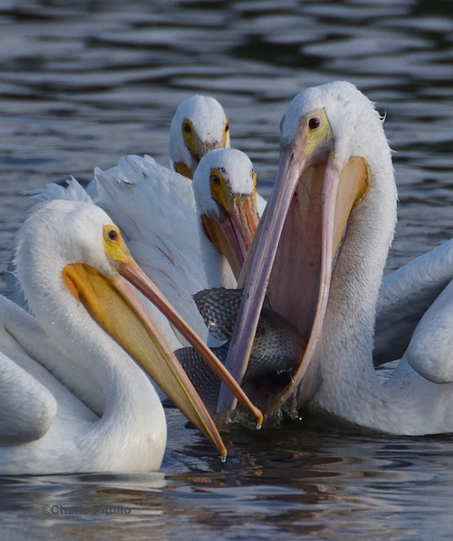This image has an empty alt attribute; its file name is 21-Other-pelicans-attempt-to-steal-fish.jpg
