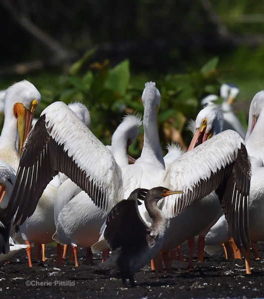 This image has an empty alt attribute; its file name is 3.-Double-crested-Cormorant-size-next-to-American-White-Pelican.jpg