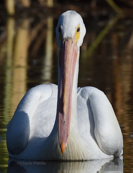This image has an empty alt attribute; its file name is 4-Upper-bill-of-American-White-Pelican.jpg