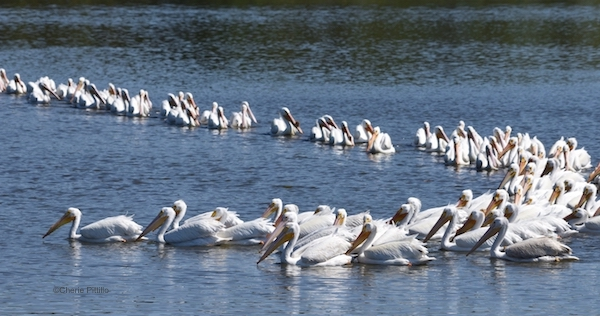 This image has an empty alt attribute; its file name is 11.-Semi-circle-foraging-strategy-of-American-White-Pelicans.jpg