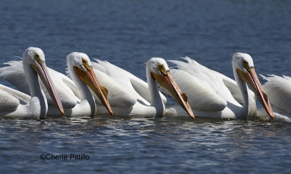 This image has an empty alt attribute; its file name is 12.Small-line-of-American-White-Pelicans.jpg