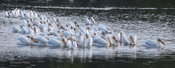 This image has an empty alt attribute; its file name is 15.-A-larger-squadron-of-pelicans-gather-to-fish.jpg