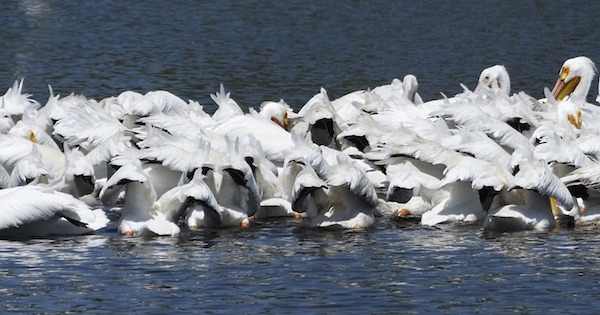 This image has an empty alt attribute; its file name is 17-Frenzy-of-feathers-while-fishing-of-American-White-Pelicans.jpg