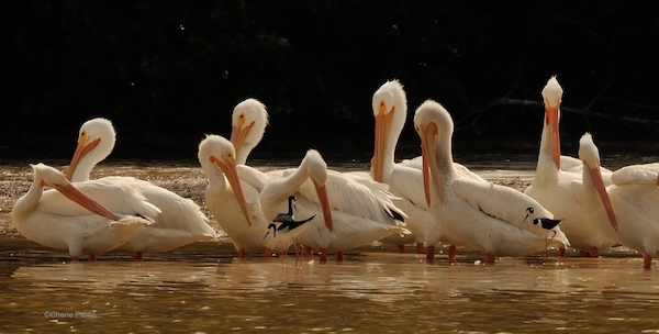 This image has an empty alt attribute; its file name is 20-Black-necked-Stilts-near-loafing-area-of-preening-American-White-Pelicans.jpg