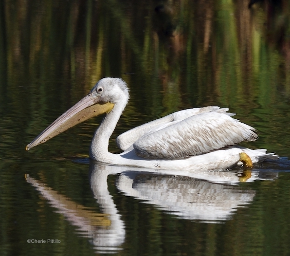 This image has an empty alt attribute; its file name is 22-Immature-American-White-Pelican-has-paler-bill-and-legs-and-gray-feathers-on-head-neck-and-back.-1.jpg