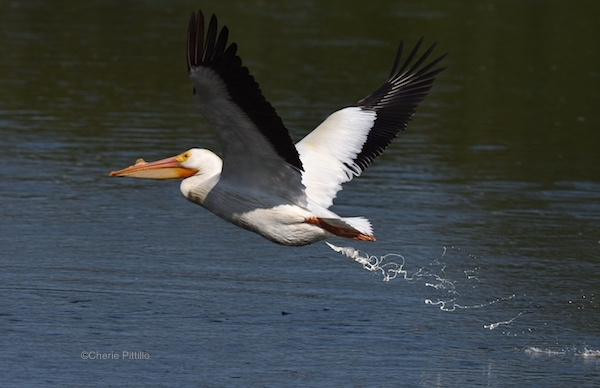 This image has an empty alt attribute; its file name is 23-Recycling-fish-American-White-Pelican-1.jpg