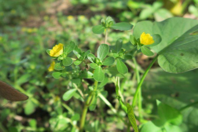 Verdolaga The Superweed The Yucatan Times