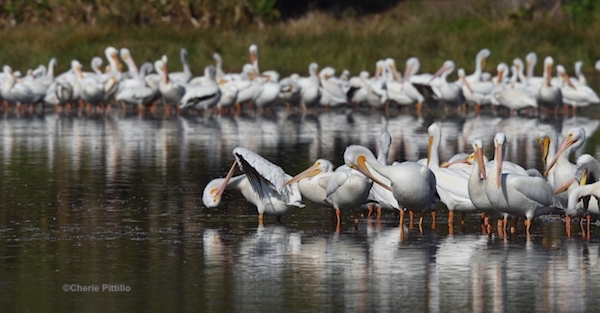This image has an empty alt attribute; its file name is 4.-Preening-and-loafing-American-White-Pelicans-1.jpg
