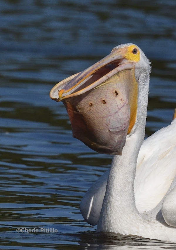 This image has an empty alt attribute; its file name is 5.-Punctured-pouch-of-American-White-Pelican.jpg