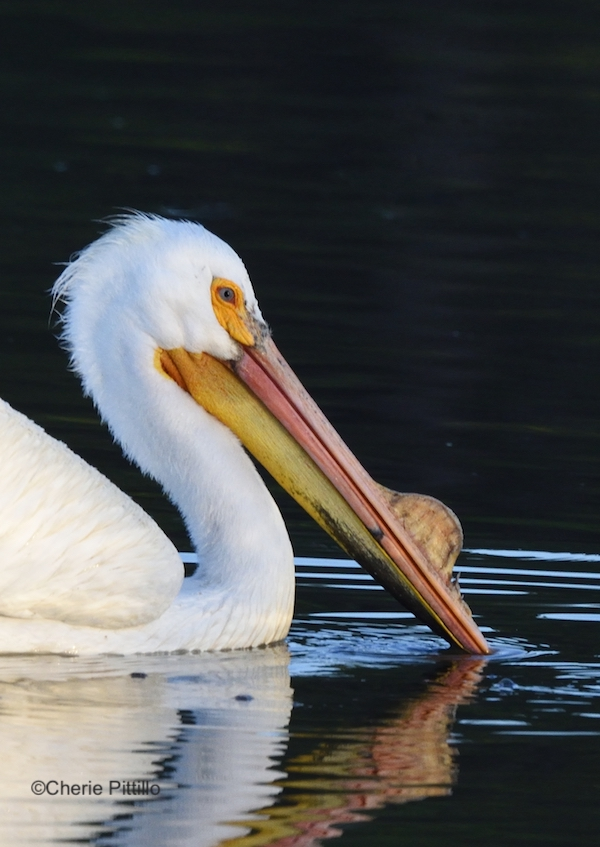 This image has an empty alt attribute; its file name is 8-During-breeding-season-both-sexes-of-American-White-Pelican-grow-a-__horn__on-their-upper.jpg