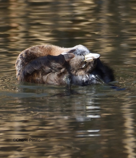 This image has an empty alt attribute; its file name is 10-Pied-billed-Grebe-rubs-head-on-preen-gland.jpg