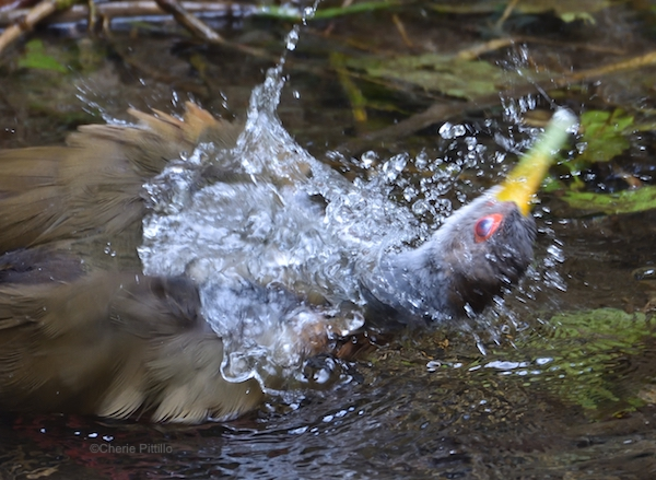 This image has an empty alt attribute; its file name is 13-Many-birds-lose-their-clear-vision-and-hearing-while-bathing-like-this-Gray-cowled-Wood-Rail-.jpg