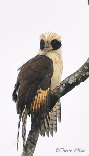 This image has an empty alt attribute; its file name is 6-Laughing-Falcon-wet-with-morning-fog.jpg