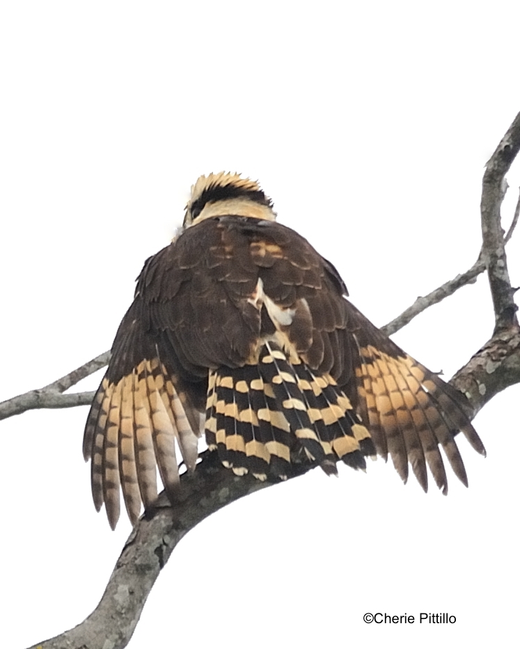 This image has an empty alt attribute; its file name is 7-Laughing-Falcon-dries-wings-from-fog.jpg