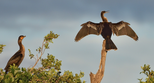This image has an empty alt attribute; its file name is 14-Does-an-Anhinga-have-more-wettable-wings-than-a-cormorant.jpg