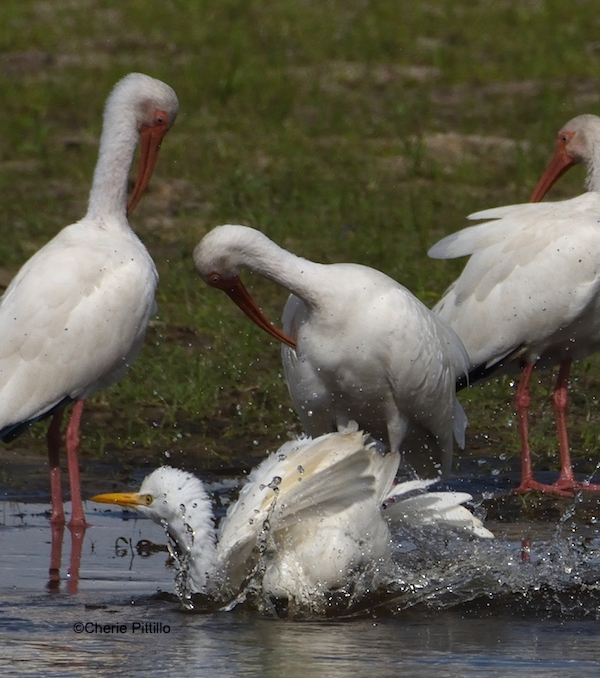 This image has an empty alt attribute; its file name is 2-Cattle-Egret-did-only-one-splash-.jpg