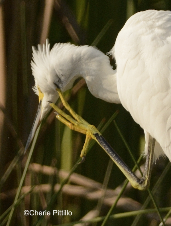 This image has an empty alt attribute; its file name is 3-Some-species-raise-the-foot-and-leg-under-the-wing-to-spread-preen-oil-onto-their-head-and-neck-such-as-this-Snowy-Egret.jpg