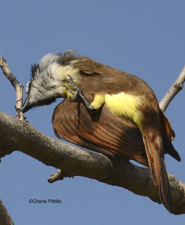 This image has an empty alt attribute; its file name is 4-Other-species-such-as-this-Great-Kiskadee-raise-their-leg-and-foot-over-the-wing-to-spread-oil-onto-the-head-and-neck.jpg