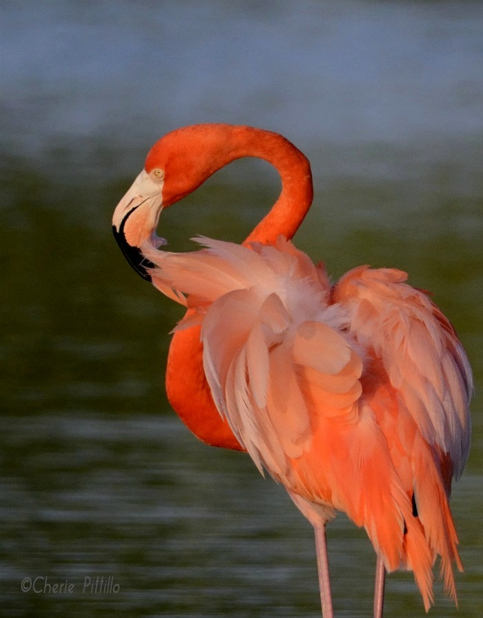 This image has an empty alt attribute; its file name is 6-American-Flamingo-preens-feathers-and-readjusts-alignments-of-parts-of-each-feather.jpg