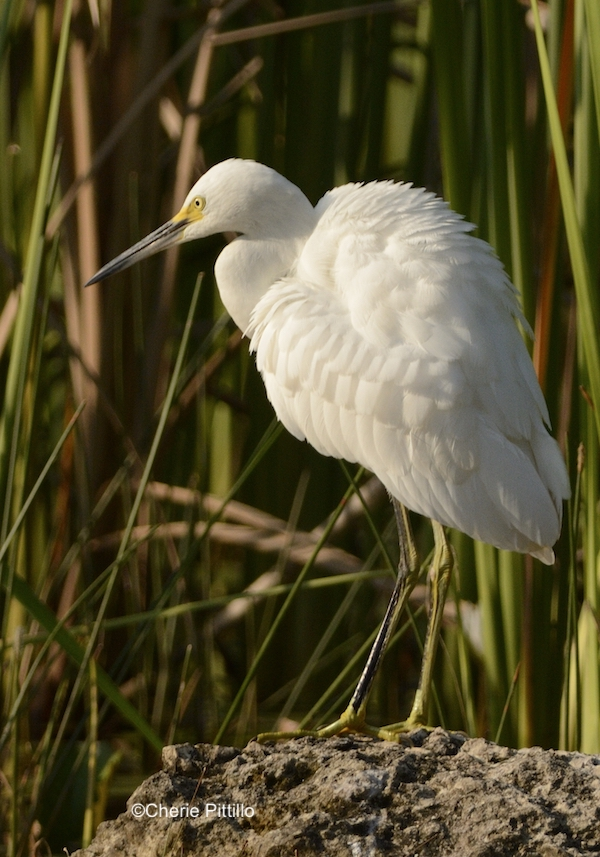 This image has an empty alt attribute; its file name is 7-Snowy-Egret-fluffs-feathers-to-aid-in-preening-and-feather-care-.jpg