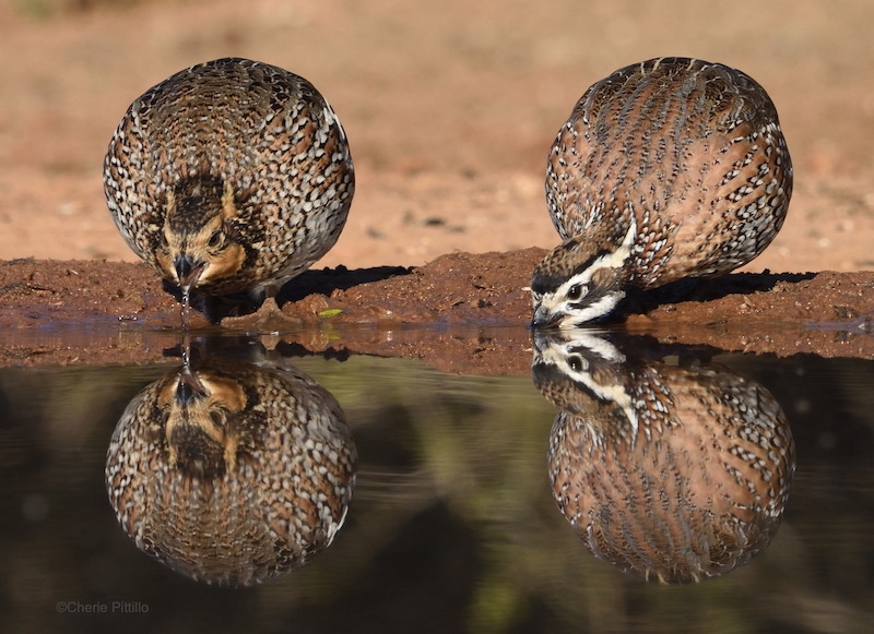 This image has an empty alt attribute; its file name is 11-A-female-and-male-Bobwhite-Quail-drinking-water.jpg