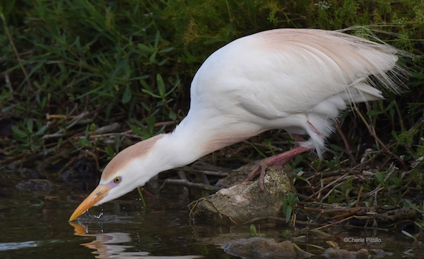 This image has an empty alt attribute; its file name is 12-Cattle-Egret-closes-bill-before-raising-its-head-to-swallow.jpg