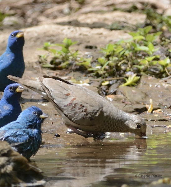 This image has an empty alt attribute; its file name is 13-At-Dzibilchaltun-Common-Ground-Dove-drinks-while-migratory-Indigo-Buntings-wait.jpg