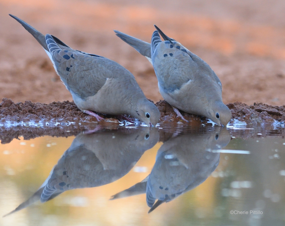 This image has an empty alt attribute; its file name is 2-Pigeons-and-doves-like-these-Mourning-Doves-can-swallow-water-without-lifting-their-heads.jpg