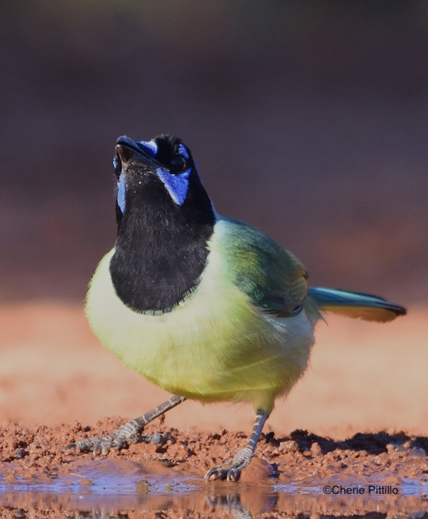 This image has an empty alt attribute; its file name is 4-Green-Jay-lifts-head-to-swallow-water.jpg