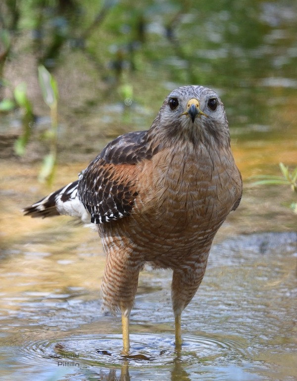 This image has an empty alt attribute; its file name is 7-Red-shouldered-Hawk-prepares-to-drink.jpg