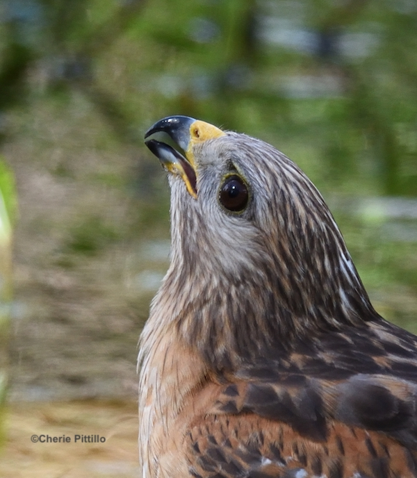 This image has an empty alt attribute; its file name is 8-Red-shouldered-Hawk-drinking-water.jpg