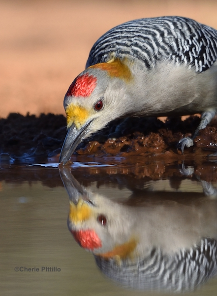 This image has an empty alt attribute; its file name is 9-Golden-fronted-Woodpecker-sips-water-near-Rio-Grande-River.jpg